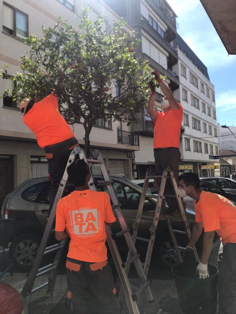 BATA Servicios integrales Comunidad C.E.E, realiza trabajo de poda y tratamiento fitosanitario naranjos calle castelao en el Concello de O Grove